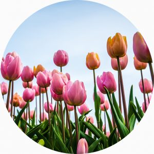 A photo of pink tulips against a blue sky